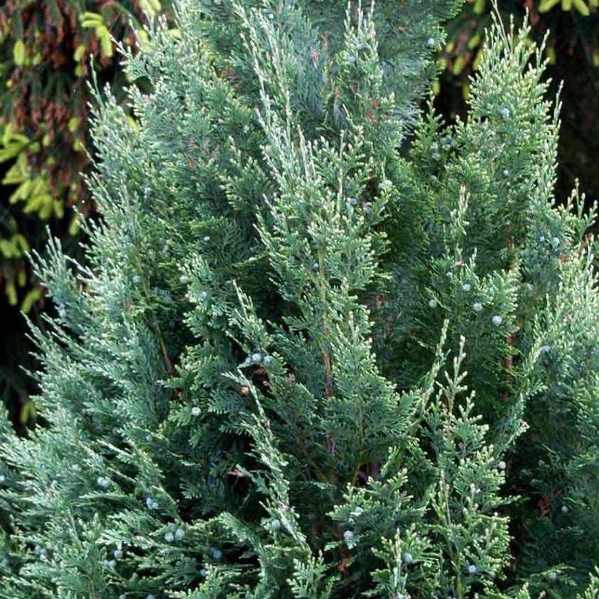 Chamaecyparis Lawsoniana White Spot