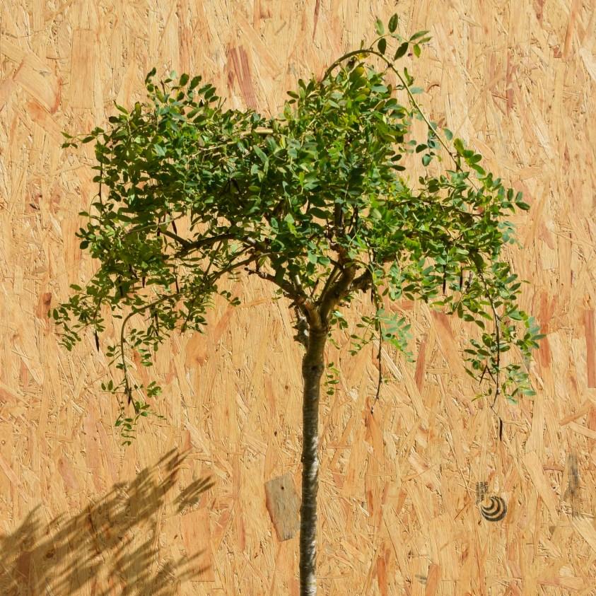 Caragna Arbor. Pendula Hænge-Ærtetræ