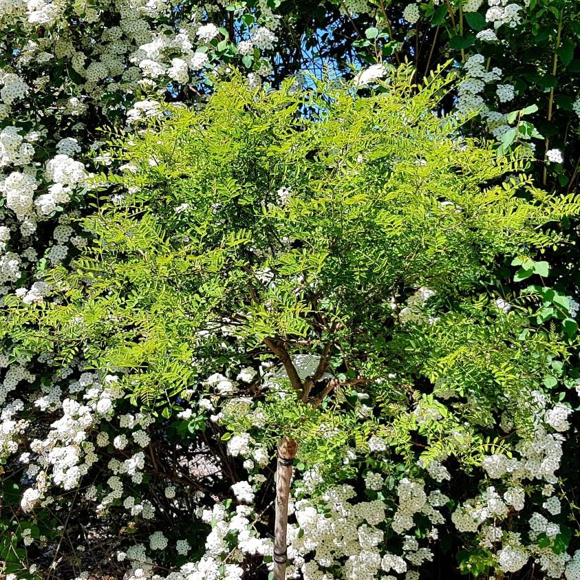 Robinia Myrtifolia