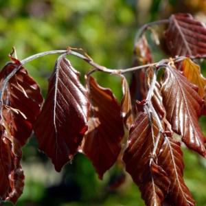 Fagus Sylvatica Atropurpureum Blodbøg hæk
