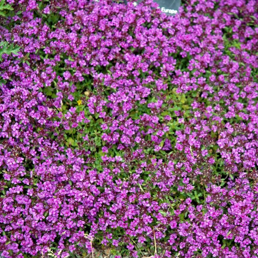 Thymus Serpyllum Coccineus Smalbladet Timian
