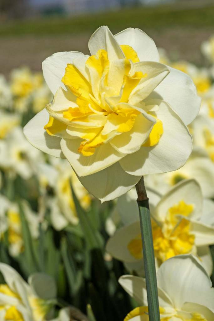 Narcissus double star