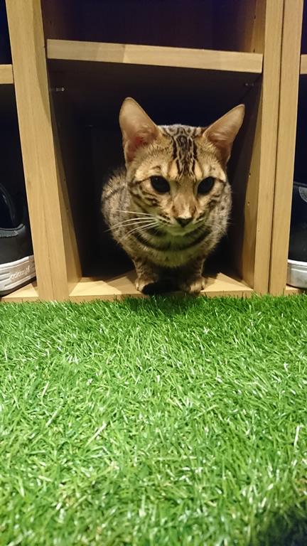 ヒョウ猫の森のベンガル猫