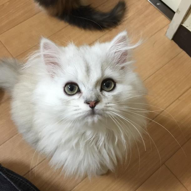 チンチラシルバー子猫2