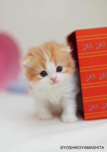 スコティッシュフォールド子猫4