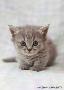 マンチカン短足子猫ブルー