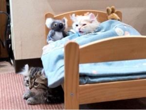 猫用ベッドのアメリカンカール子猫