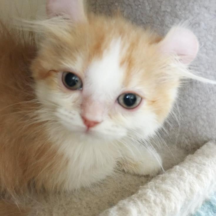 ネコスミアメリカンカール子猫