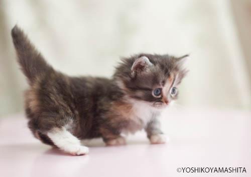 しっぱのピーンと立ったマンチカン子猫