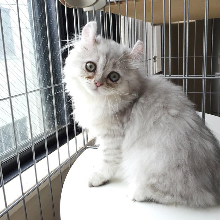 アメリカンカール子猫薄茶