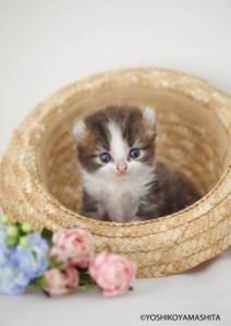 麦わら帽子の中のアメリカンカール子猫