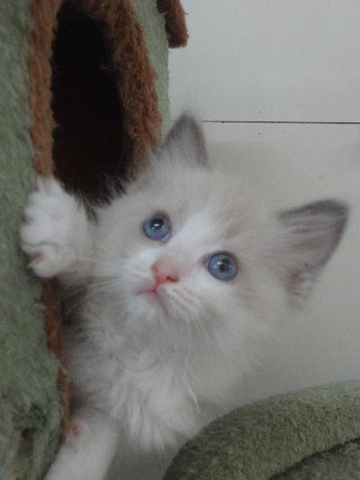 ラグドール子猫11