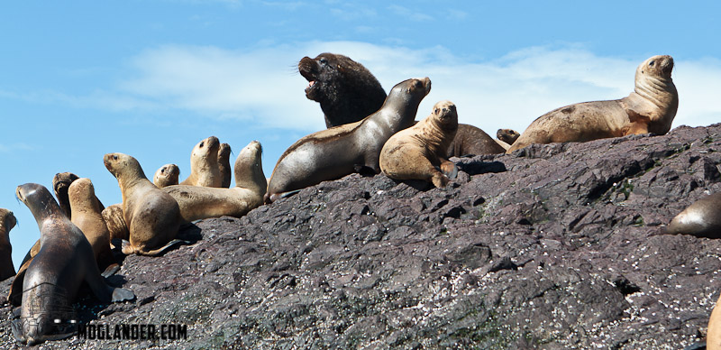 Sea Lion male with his girlfriends