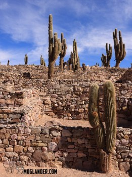 Cactus invasion in Tilcara (Just for Lorraine)