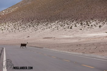 Llama's own the road. Did you not know?