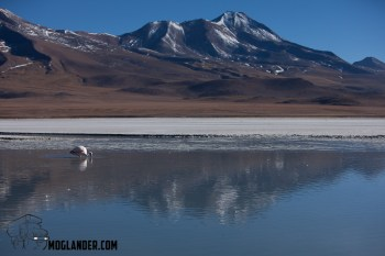Lone Flamingo in the reflection of the mountain