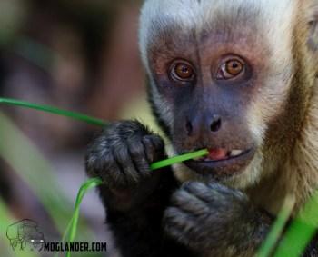 Monkey on weed.