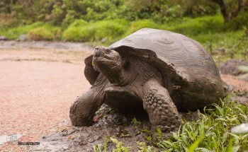 This is a Juvenile giant tortoise, only about 50 or 60 years old. He could hit over 400kg fully grown.