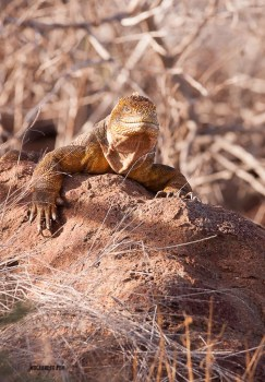 Land Iguana soaking up a few rays of sunshine