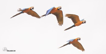 Blue and Yellow Macaws are stunning