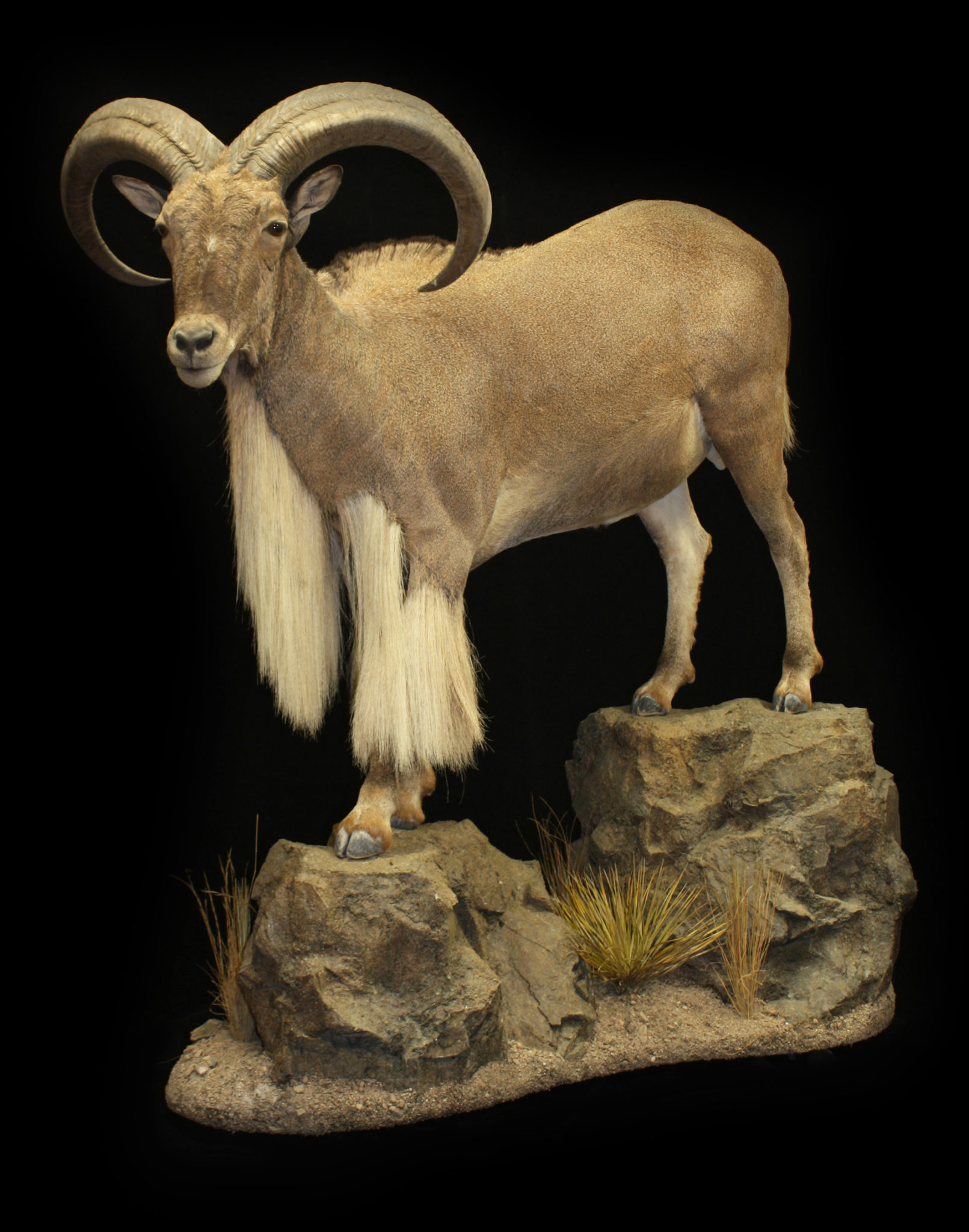 African And Exotic Taxidermy Shoulder Mounts Mogollon