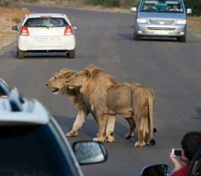 endangered species protection for African lions