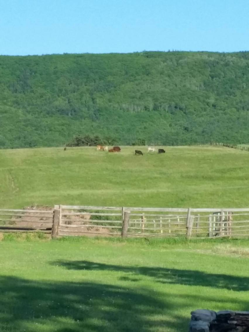 Cows in the field behind Chez Edmond Vacation House