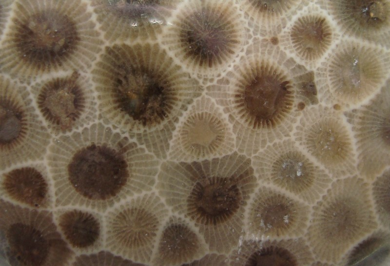 close up of a petoskey stone