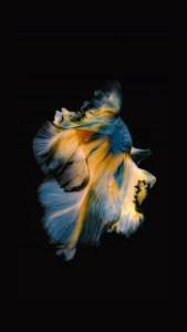 iPhone Blue Yellow Fish Live Wallpaper 04