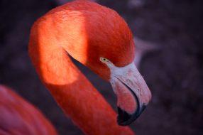 Flamingo Kopenhagen Zoo
