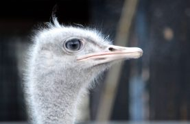 Ostrich Kopenhagen Zoo