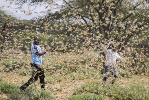United Nations warns of another outbreak of locusts in  Somalia