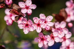 blood plum, tree blossoms, cherry plum