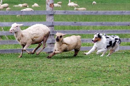 Thingo moutons