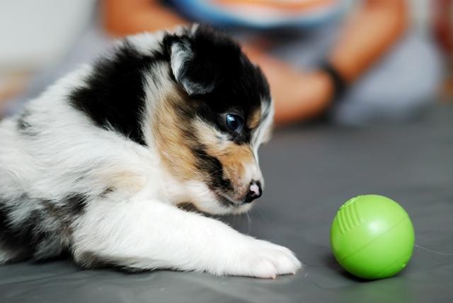 Puppy jessy Merlot  4sem