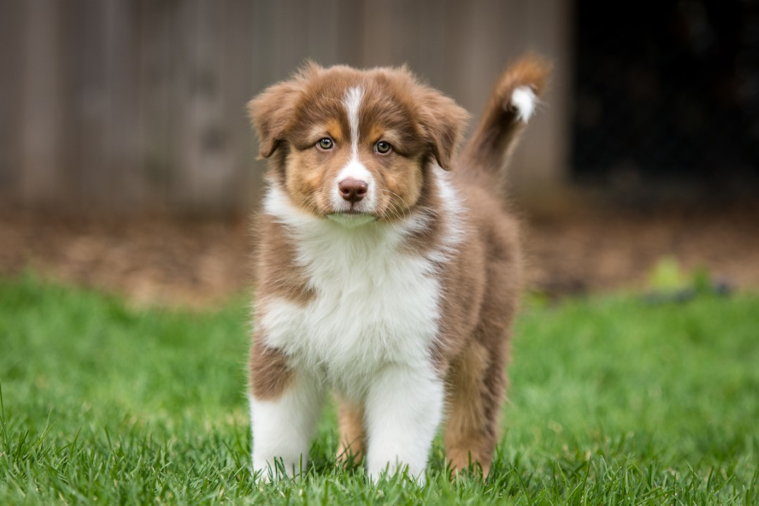 Jack puppy 2021 8w