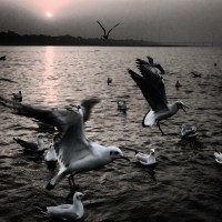 The most haraami birds, river-gulls.
