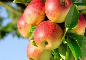 Яблоня медуница — посадка и уход, 65 фото примеров в саду!