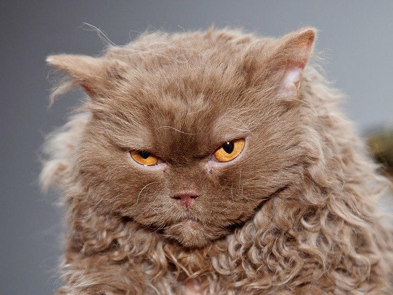 вот кудрявый кот фотографии северяне