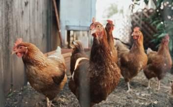 Cara Memperlakukan Setiap Jenis Ayam Sesuai dengan Kodrat Alamiahnya