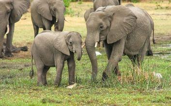 gajah hamil mati berdiri di india petasan dalam nanas penyiksaan hewan mojok.co