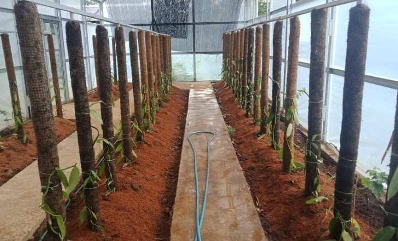 Kebun percontohan vanili di rumah Irul. Foto dok. Irul