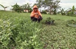 Walijo, jadi petani rumput lebih menjanjikan