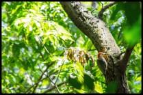 20150726woodpecker2