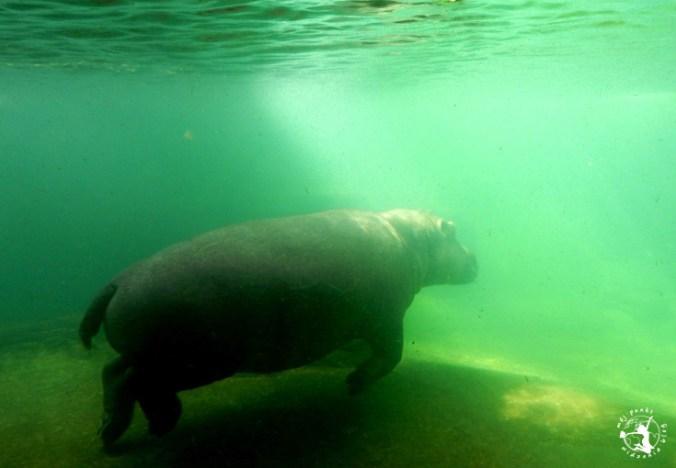 Mój Punkt Widzenia Blog - hipopotam we wrocławskim zoo, Afrykarium