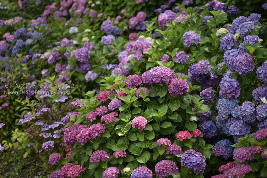 [6]夏本番のギリギリまでアジサイの花を楽しむ!