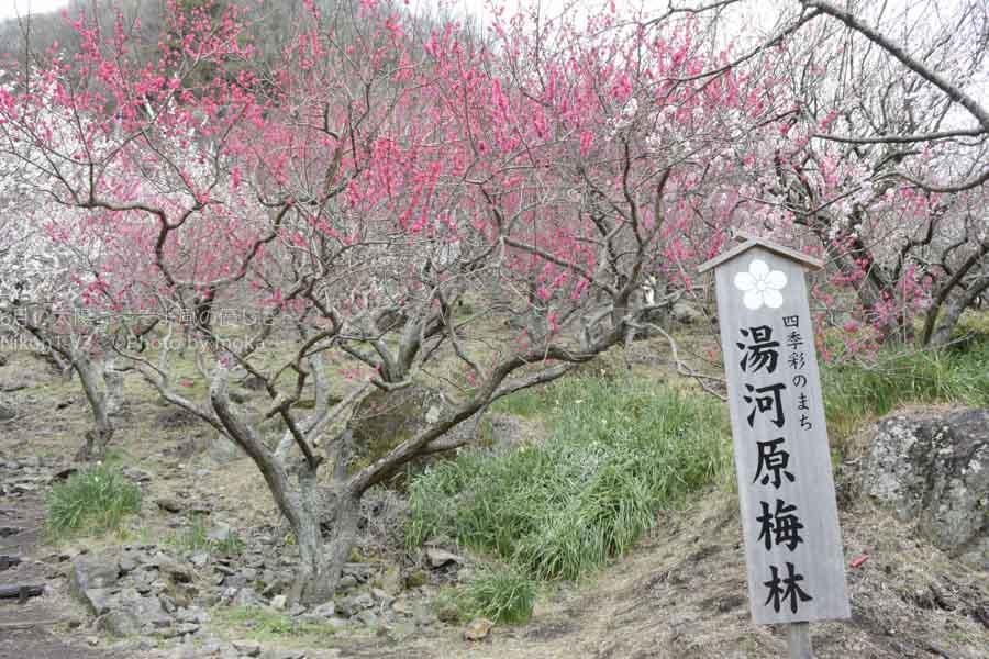 [6]山の斜面を彩る梅の花