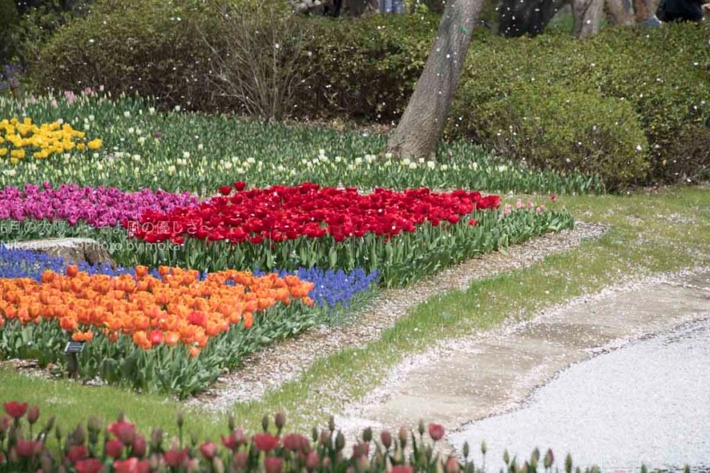 [6]毎年見続けたい、昭和記念公園のチューリップ畑!