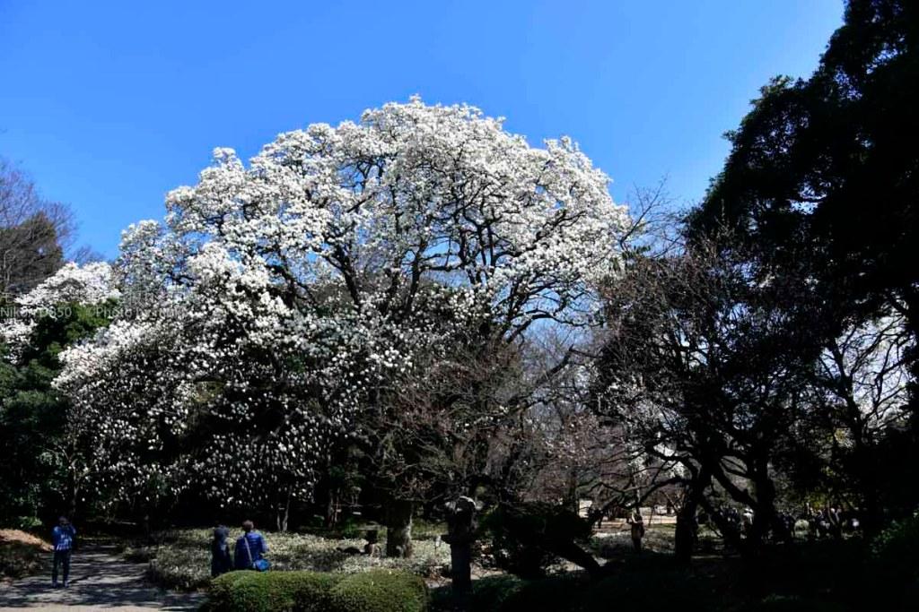 [6]春の青空をバックに、真っ白に咲き誇るモクレン