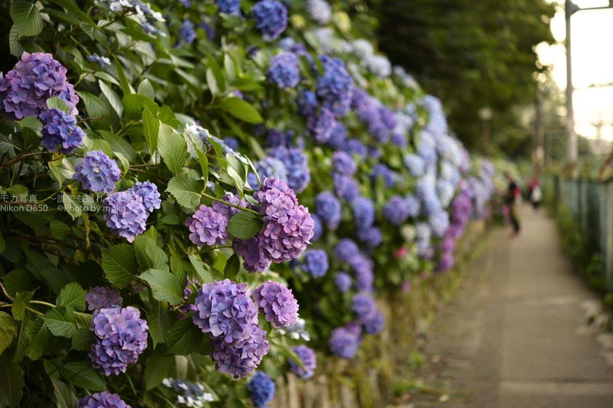 【東京の紫陽花の名所】飛鳥山公園の350m続く紫陽花ロードは必見